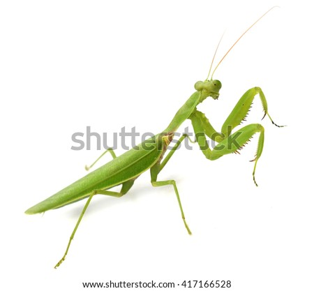Mantis in white background, closeup of photo