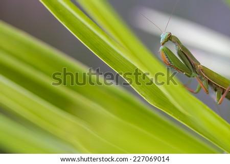 Mantis Insect, Macro Close-Up - stock photo