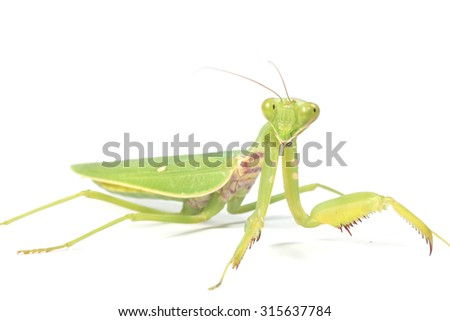 mantis isolated on white - stock photo