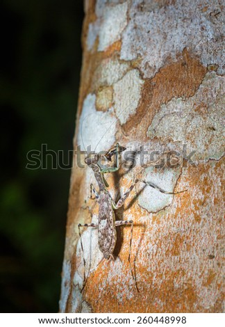 Mantis mimmetics in the nature - stock photo