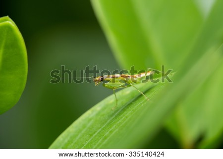 Mantis on the Leaf