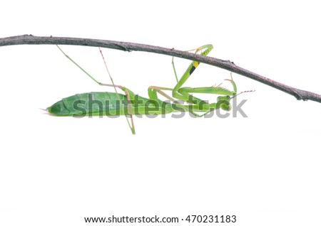 Mantis on white background