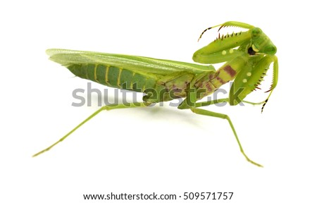Mantis on white background. Closeup image of mantis looking into camera. Soothsayer or mantis green insect. Mantis head and arms with claws. Grass green Mantodea from tropical nature. Mantis isolated