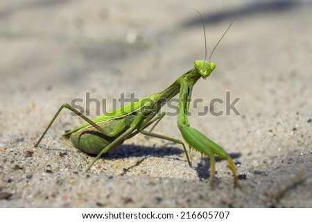 Mantis religiosa, referred to as the European mantis outside of Europe and known simply as the praying mantis in Europe and elsewhere, is one of the most well-known. Surprise and interest, curiosity