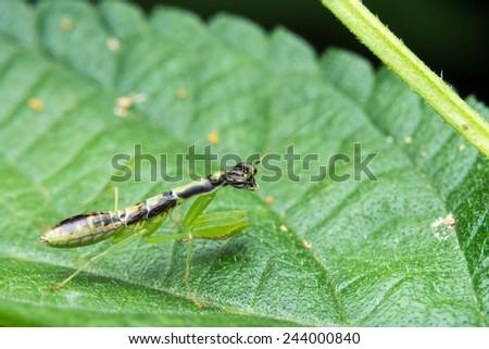 Mantis resting on green leaf - stock photo