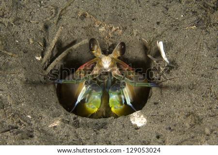mantis shrimp in sandy burrow on ocean bottom, toyan bay, catalina island, california, united states - stock photo