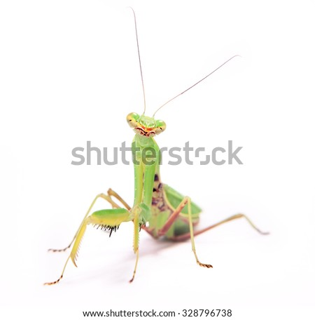 mantis stare to you isolated on white background