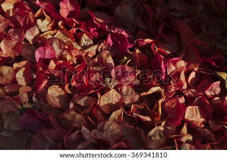 Mantle of Bougainvillea Flowers during Autumn season. Natural backgrounds - stock photo