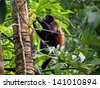 Mantled howler monkey, Alouatta palliata, eating  leaf, Cahuita national park, Costa Rica, Central America - stock photo
