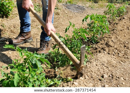 Manual processing of the ground with pickaxe in a tomatoes cultivation