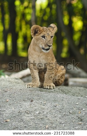 manual young lion on a bestial court yard - stock photo