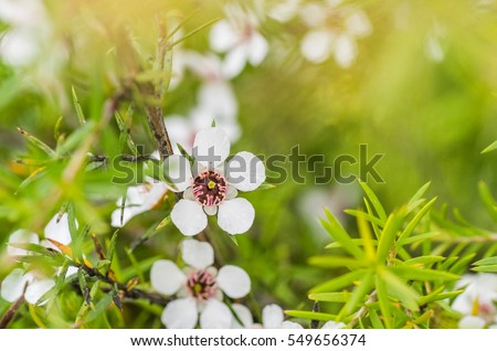 Manuka flowers from which manuka honey with medicinal benefits are made