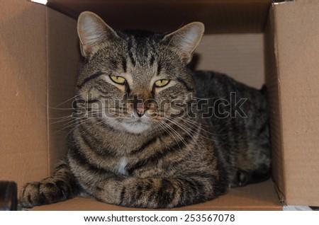 Manx cat in a box - stock photo