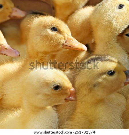 Many amusing small yellow ducklings in herd - stock photo
