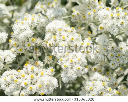 Many anaphalis flowers, pearl colored. White and yellow, milky shades. Focus in the center of shot. Sunny summer day.