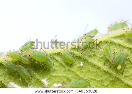 Many aphids on leaf - stock photo
