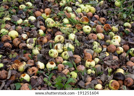 Many apples fallen from trees on a ground  - stock photo