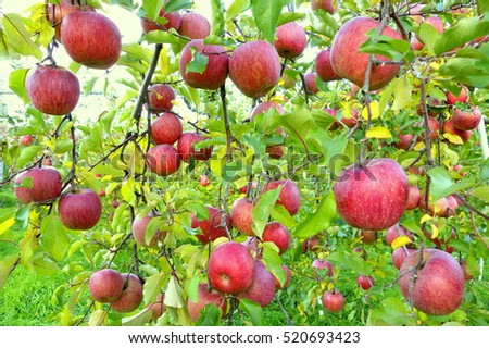 Many Apples Apple Garden Stock Photo (100% Legal Protection ...