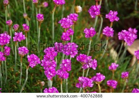 many Armeria maritima wildflowers in spring - stock photo