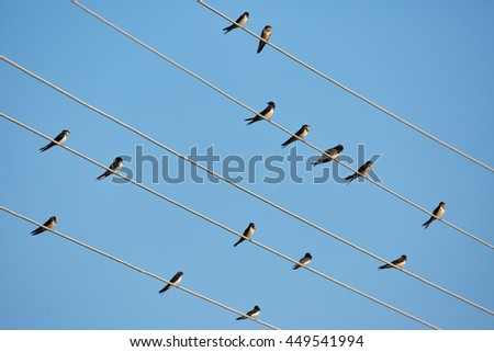 Many barn swallows perched on telephone wires - stock photo