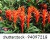 many beautiful guzmania magnifica flower - stock photo
