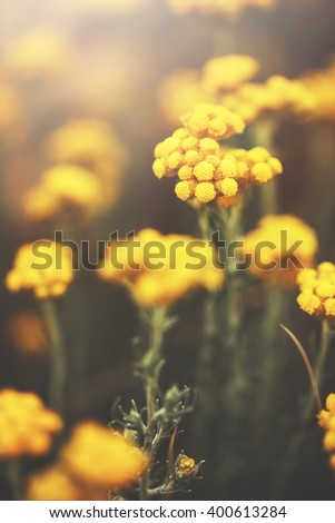 many beautiful meadow wild yellow soft flowers in natural bright colorful background in spring field. Vintage sunny outdoor photo in park - stock photo