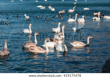many beautiful swans swim in the sea