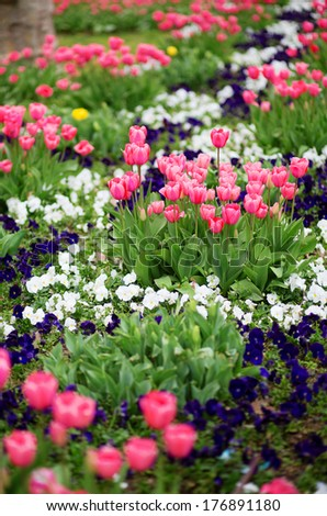 Many beautiful tulips in a garden
