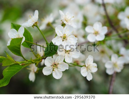 Many beautiful white flowers on branch - stock photo
