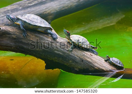 Many Big-headed turtles  - stock photo