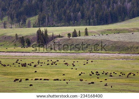 Many Bisons on the plains - stock photo