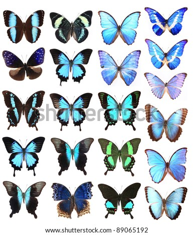 Many blue butterflies isolated on a white background - stock photo