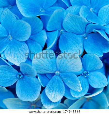 Many blue hydrangea flowers growing in the garden, floral background
