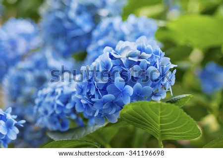 Many blue hydrangea flowers growing in the garden, floral background - stock photo