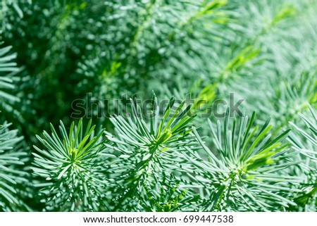 Many branches of coniferous ornamental plants with green needles. The plant is undersized for the garden. Branches similar to the branches of a pine. The branches are soft.