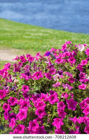 Many bright pink flowers of the surfium on the background of the river