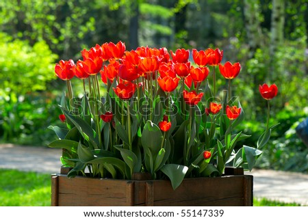 Many bright red tulips on the sun in the wooden box - stock photo