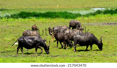 Many buffaloes in the field