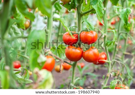 Many bunches with ripe red and unripe green tomatoes,growing in greenhouse - stock photo