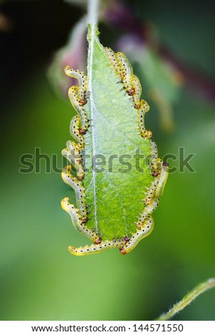 Many Caterpillars eating on a green leaf. Actually Larva of a sawfly (Tenthredinidae) - stock photo