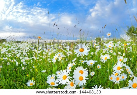 many chamomile flowers on summer meadow over blue sky - stock photo