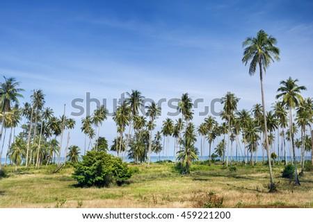 Many coconut on island - stock photo