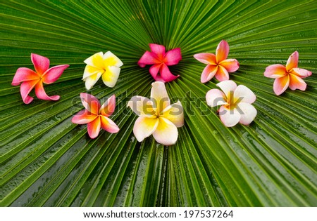 Many colorful frangipani and wet palm leaf texture - stock photo