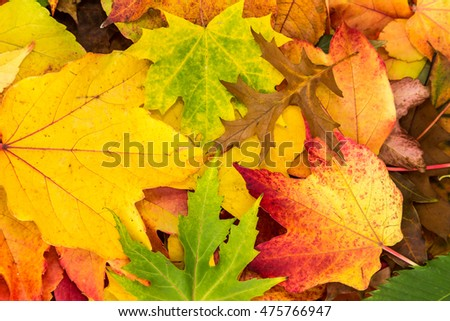 many colorful maple leaves lie on one another