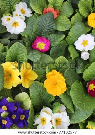 Many colorful Primulas, background - stock photo