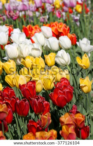 Many colorful Tulips in the garden