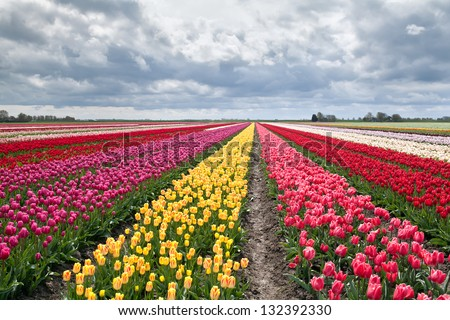 many colorful tulips on fields during spring, Holland - stock photo