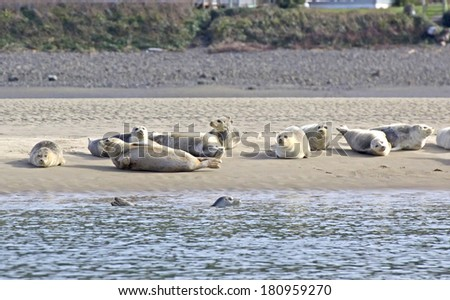 Many contented sea lions basking in the sun on a sandbar one swimming in front