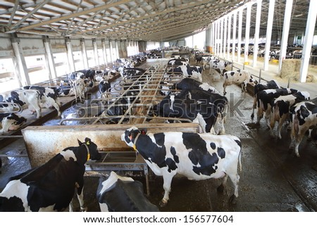 Many cows in the hangar with metal floor on a dairy farm - stock photo