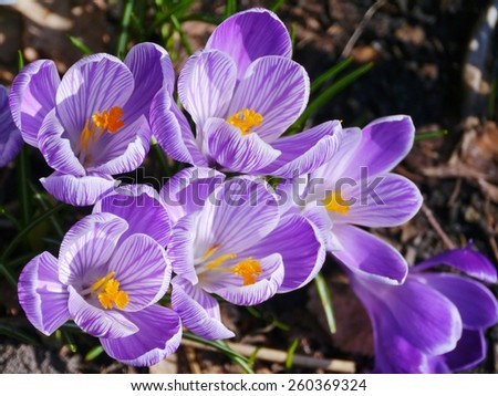 Many crocuses in a park in spring - stock photo